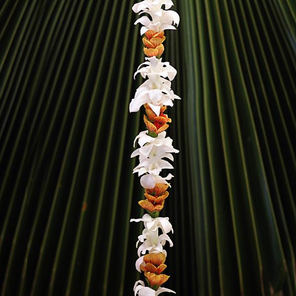 Single White Orchid with Lantern Ilima | Valentine's Surprise