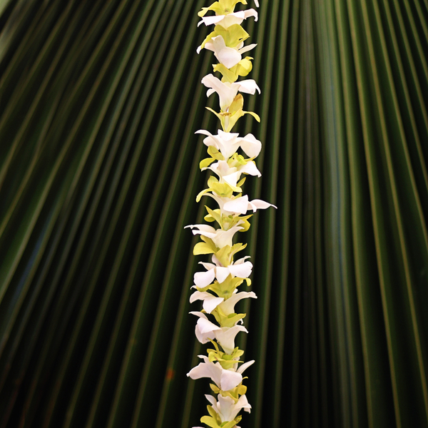 Single Green and White Orchid | Wedding Leis for Wahine (Women)