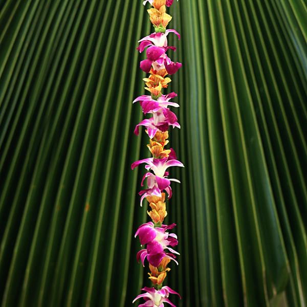 Single Purple Orchid with Lantern Ilima   Simplicity Singles