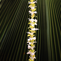 Image Single Green and White Orchid