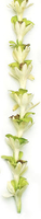 Image Tuberose Green Orchid